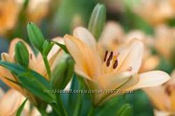 Лилия разноцветная луковицы 10шт