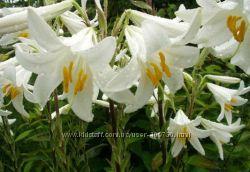Лилия высокая белая аптечная