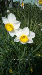 Нарцисс ранний