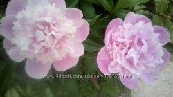 Пиона розовая, бордовая, белая