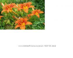 лилейник оранжевый 50шт
