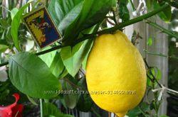 Комнатный новогрузинский лимон