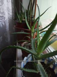 Алое лечебное  многолетнее, большие  сочные листья