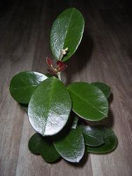 Хойя аустралис /Hoya australis