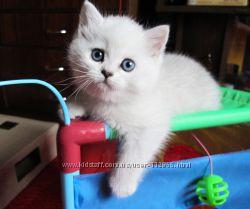 Элитный британский шиншилловый котик