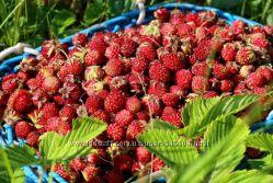 Ароматная  земляника- свежая ягода в липовом меду. Витаминки на зиму-весну.