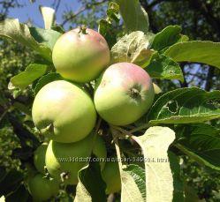 Свежие плоды яблок, абрикос, слив, груш, терна, земляники, шелковица. Домаш
