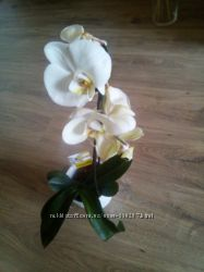 Орхидея белая, Фаленопсис