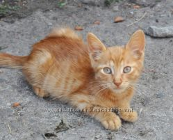 Рыжее солнышко котенок Ричи в добрые ручки