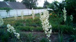 Юкка нитчатая садовая на осень