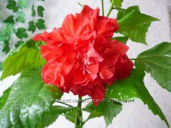 Гибискус китайская, суданская роза