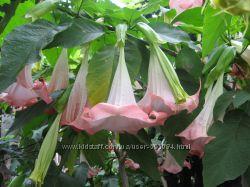 Бругмансия розовая и белая укорененные