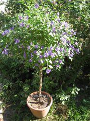 Паслен Рантонетти, шикарное растение, круглогодичное