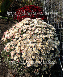 белая хризантема кусты