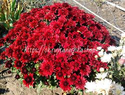 красная хризантема кусты