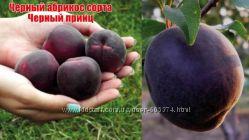 Саджанці абрикоса Чорний Принц