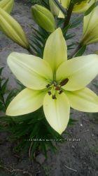 Лилии лимонные сортовые большие цветы