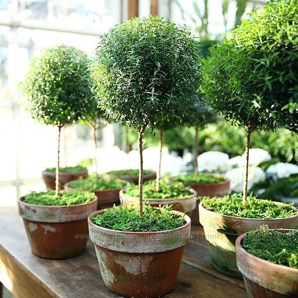 Мирт ароматный Myrtus миртовое дерево
