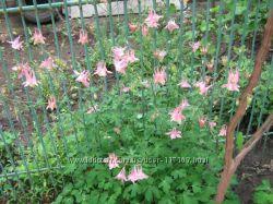 Продам кусты розовой аквилегии водосбора