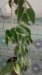 Хойя Macrophylla  albomarginata