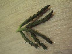 Стапелия пестрая , леопардовая молодые укорененные растения