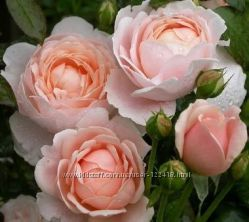 Роза плетистая Colette 2х летки подвой