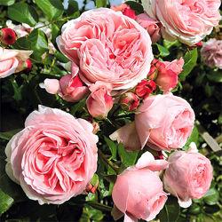 Роза плетистая пионовидная Джардина