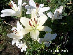 Продам многолетние цветы, кустарники, деревья.