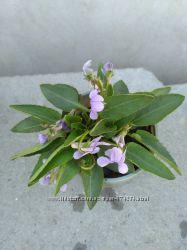 Фиалка душистая растение