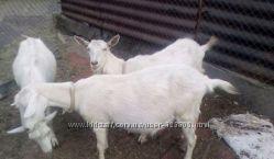 Коза козы белая дойная молочная безрогая заненская зааненская