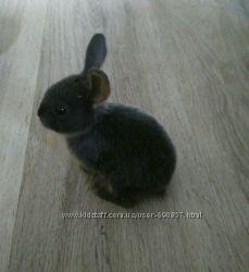 кролик голубой рекс