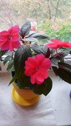 Новогвинейский розов