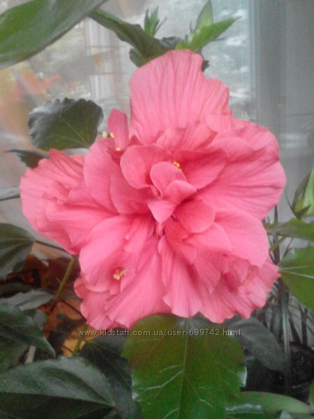 Роза комнатная , гибискус