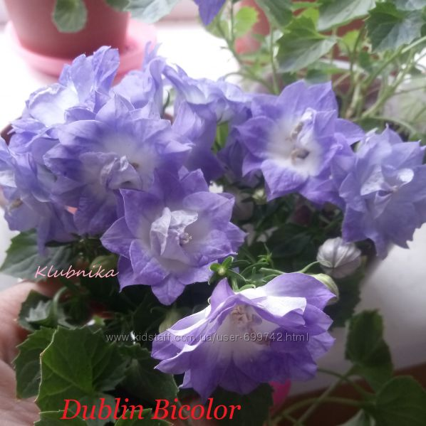 Кампанула, Махровый любовник Dublin Bicolor