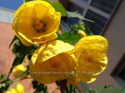 Сортовой абутилон Buttercup  насыщенно -желтый