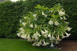 Красивая белоснежная бругмансия, обильно цветущая
