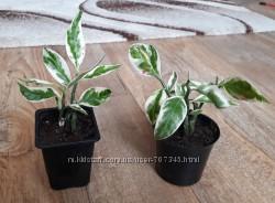 Педилантус, цена за растение на фото