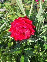 Розы чайно-гибридные, плетистые, английские, флорибунда, спрей