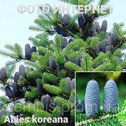 Пихта корейская Аbies koreana