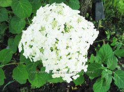 Гортензия садовая белая древовидная