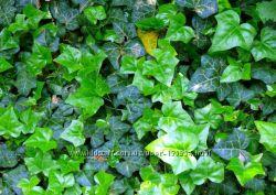 Плющ садовый вечнозеленый для изгороди