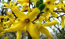 Форзиция зеленая, цветет желтыми цветами