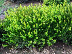 Саженцы самшита вечнозеленого, для доращивания