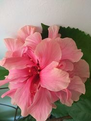 Сортовые комнатные розы гибискус