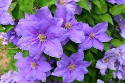 Клематисы двухлетние сортовые красивые цветы