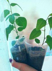 пассифлора маракуйя гранадилла страстоцвет