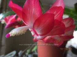 Продам Шлюмбергеру Floral Bouquet