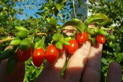 Годжи - саженцы и ягоды