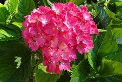 Гортензия крупнолистная- саженцы 3-х расцветок
