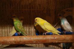 Волнистый попугай. Птенцы и взрослые птицы.